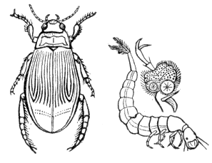 Aquatic insect clipart png free stock Insect Line Drawing at PaintingValley.com | Explore collection of ... png free stock