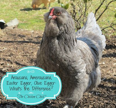 Araucana chicken clipart jpg black and white download Araucana, Ameraucana or Easter Egger (Olive Egger,Rainbow Layer ... jpg black and white download