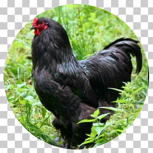 Araucana chicken clipart image free 17 Araucana PNG cliparts for free download | UIHere image free