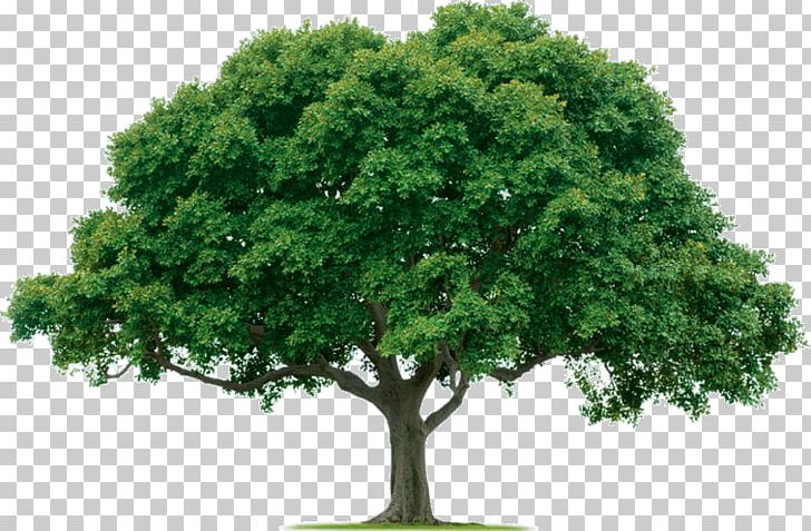 Arbor care clipart clipart free Evergreen Tree Care Arborist Forest PNG, Clipart, Arbor Day ... clipart free