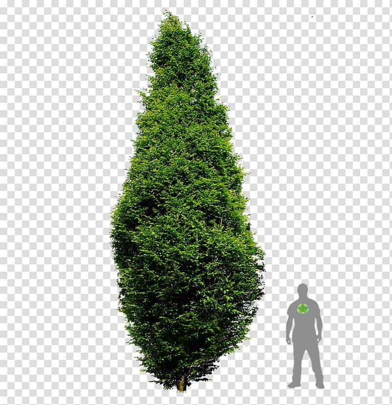 Arborvitae tree clipart image black and white download Spruce European hornbeam Pine English Yew Arborvitae, tree ... image black and white download