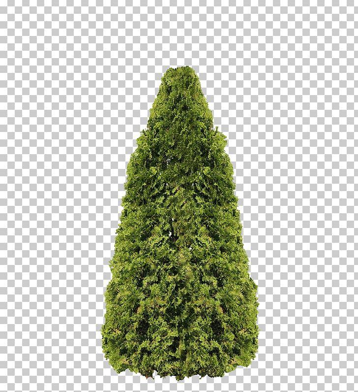 Arborvitae tree clipart jpg stock Arborvitae Fir Pine Tree Evergreen PNG, Clipart, Arborvitae, Biome ... jpg stock
