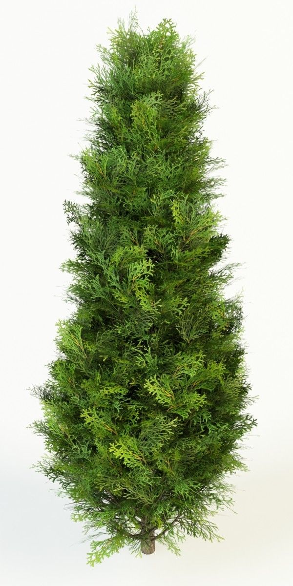 Arborvitae tree clipart png library download thuja occidentalis max | фотошоп | Thuja occidentalis, Garden ... png library download