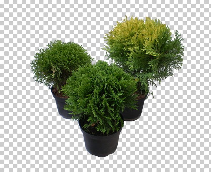 Arborvitae tree clipart svg royalty free stock Tree Farm Evergreen Arborvitae Shrub PNG, Clipart, Arborvitae ... svg royalty free stock