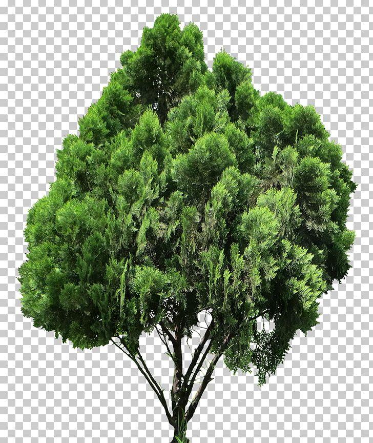 Arborvitae tree clipart clip art freeuse download Conifers Tree Oriental Arbor-vitae PNG, Clipart, Arbor Vitae ... clip art freeuse download