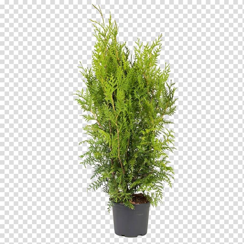 Arborvitae tree clipart image transparent stock Arborvitae Thuja occidentalis \\\'Smaragd\\\' Ornamental plant Oriental ... image transparent stock