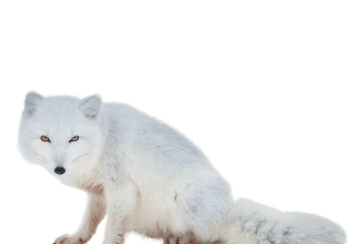 Arctic fox side view clipart free download Millions of PNG Images and Vectors for Free Download | DLPNG free download