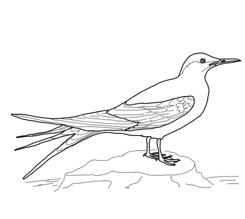 Arctic tern clipart svg black and white Arctic Tern coloring page   Free Printable Coloring Pages svg black and white