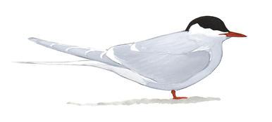Arctic tern clipart jpg black and white download Arctic Tern   John James Audubon\'s Birds of America jpg black and white download