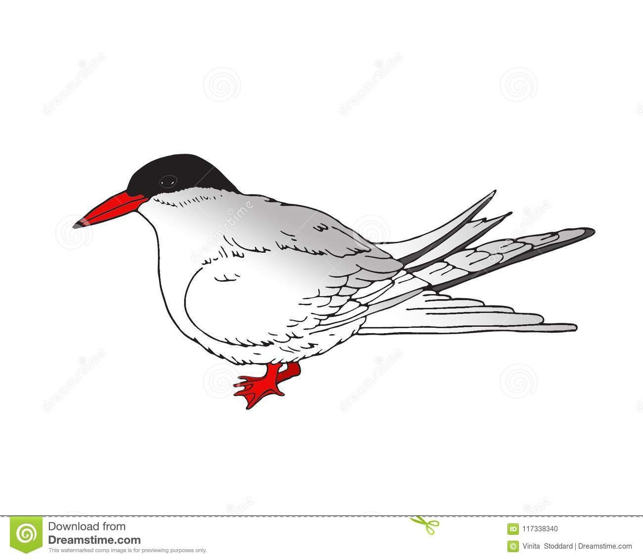 Arctic tern clipart picture library download Detailed Illustration Of An Arctic Tern Stock Illustration ... picture library download