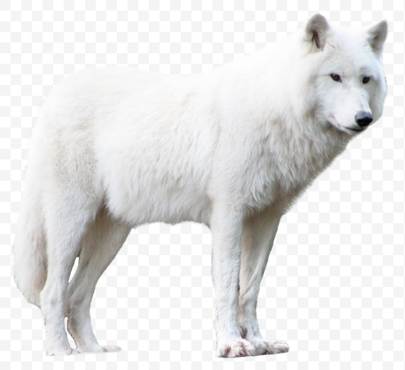 Arctic wolves clipart svg freeuse Arctic Wolf Clip Art, PNG, 1600x1463px, Greenland Dog, Alaskan ... svg freeuse
