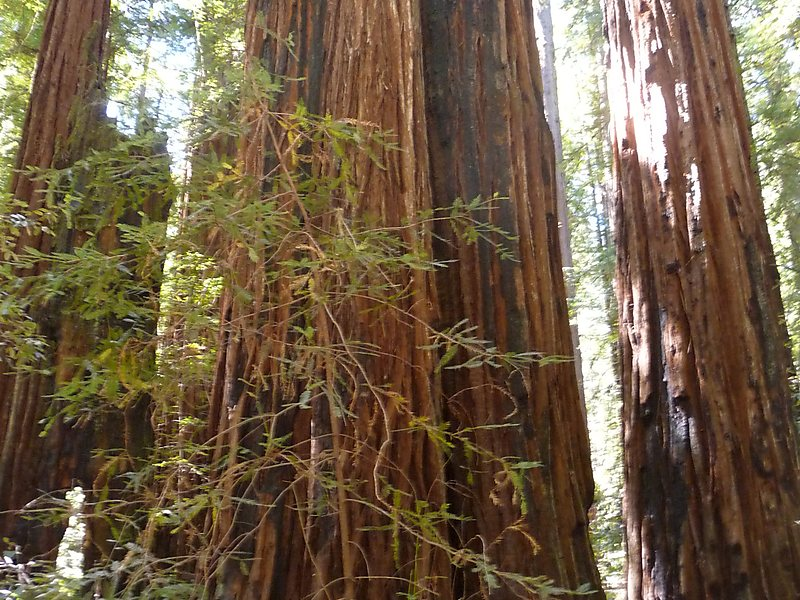 Armstrong redwood clipart banner transparent stock Armstrong Redwoods State Natural Reserve in California, USA | Sygic ... banner transparent stock