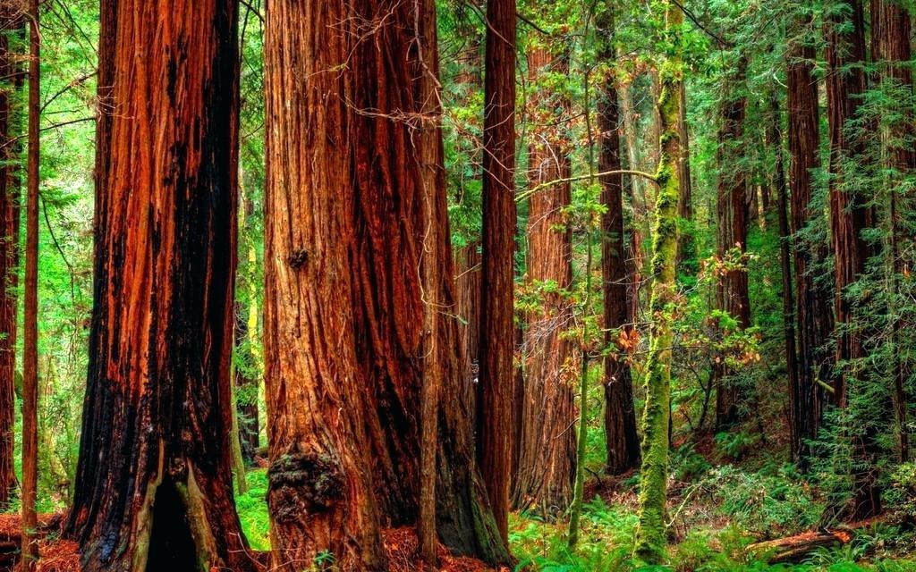 Armstrong redwood clipart freeuse download Download Redwood Wallpaper Original Forest Desktop - Redwood Forest ... freeuse download