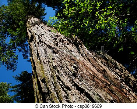 Armstrong redwood clipart image library stock Redwood Tree image library stock