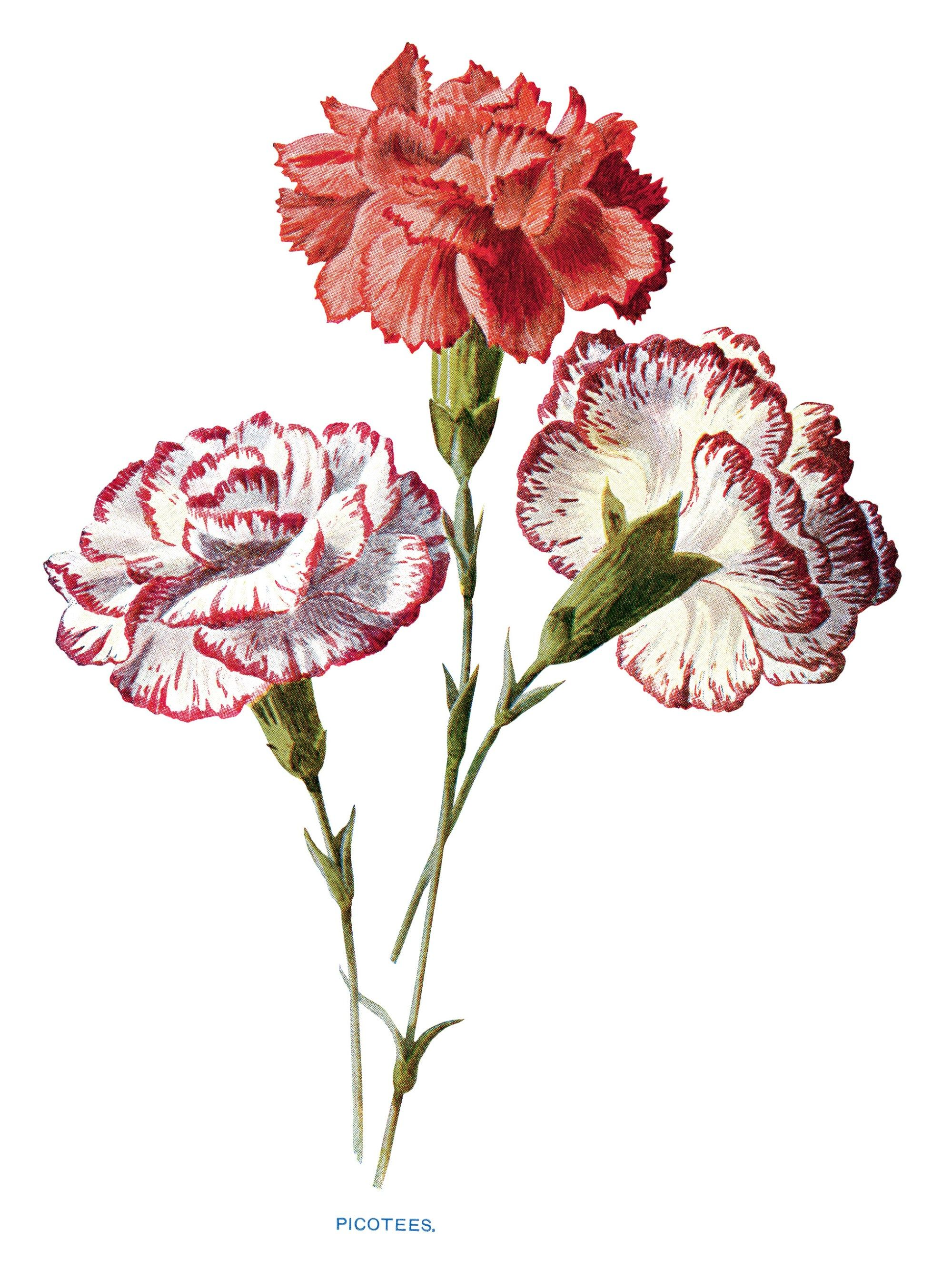 Purple and white carnations water painting clipart clip art freeuse library free vintage carnation clip art red white picotees flower ... clip art freeuse library