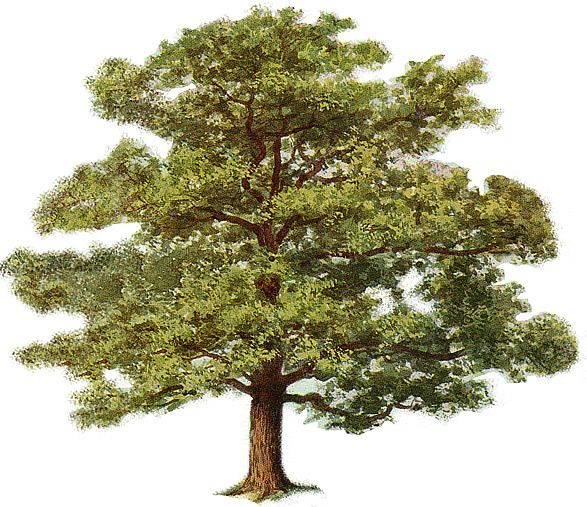 Red oak tree clipart image free download Tree Clipart | Trees in My Yard in 2019 | Oak tree, Tree clipart ... image free download