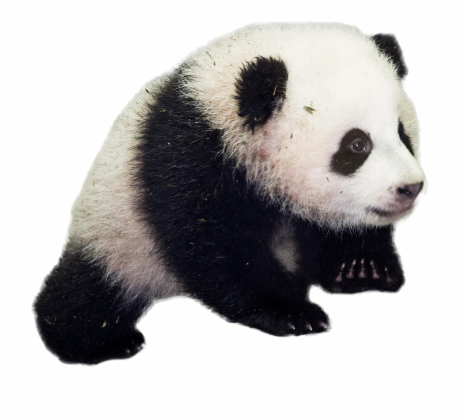 Asian panda mom with baby panda clipart picture clipart transparent download Baby Panda - Giant Panda Transparent Background Free PNG Images ... clipart transparent download