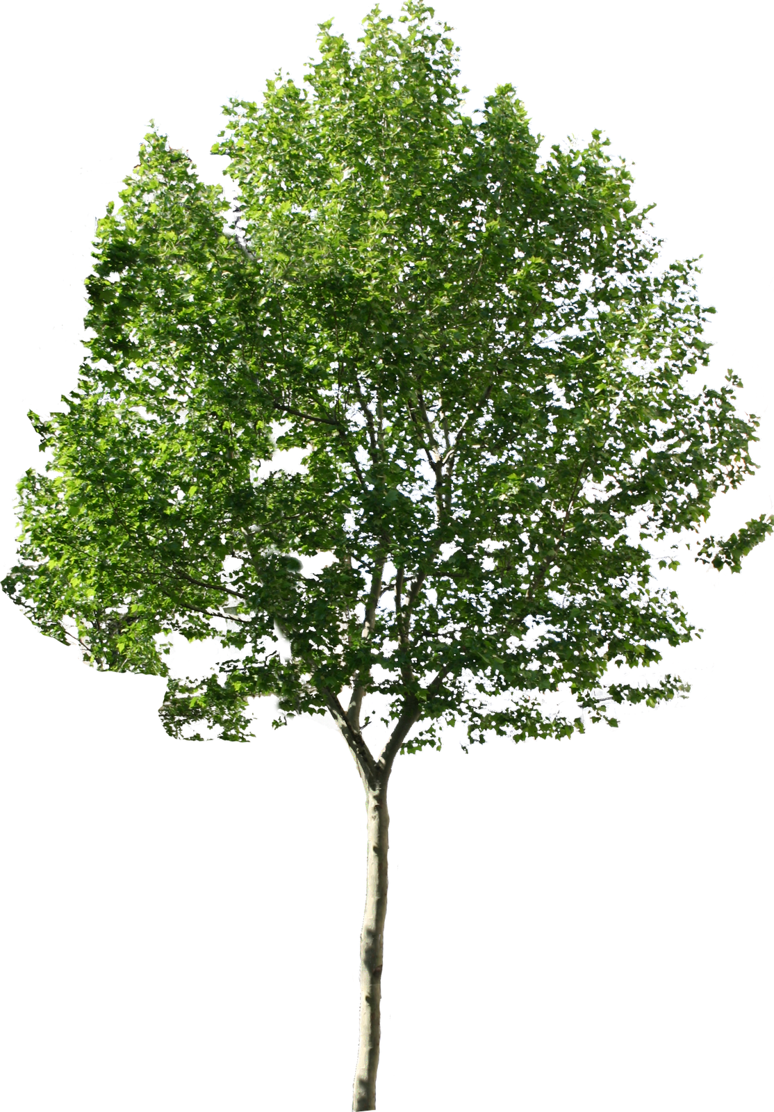 Aspen tree clipart image library download png tree | Drawing-Photoshop | Pinterest | Photoshop, Landscaping and Ps image library download