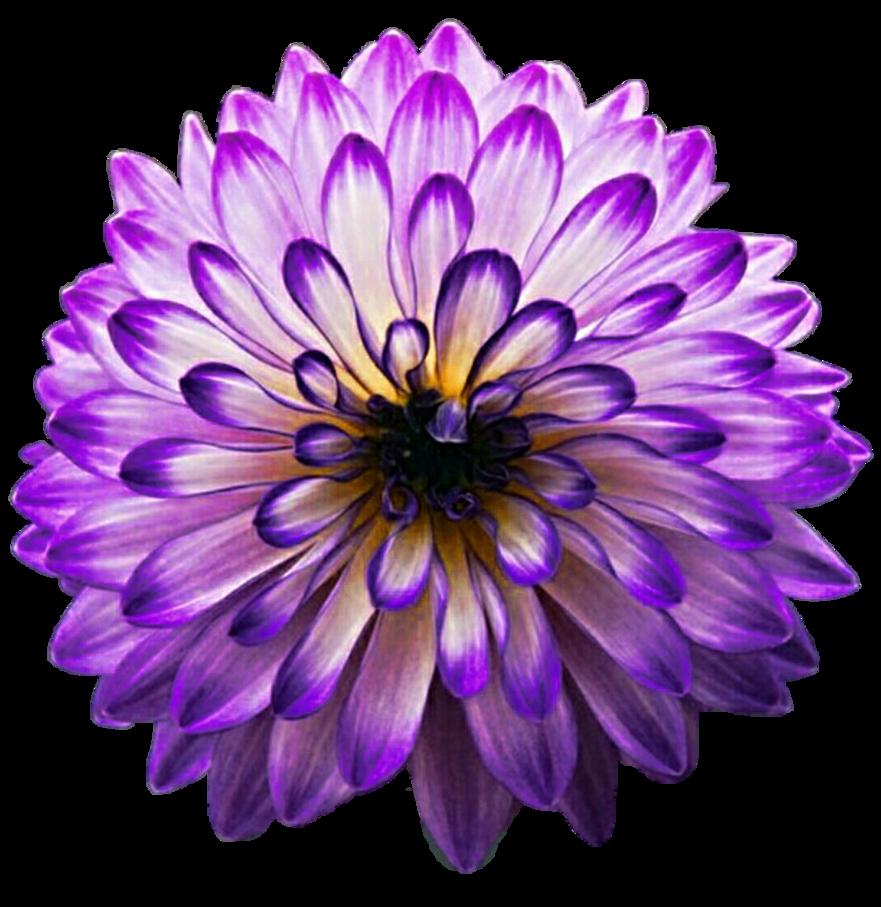 Aster flower clipart jpg transparent library Purple Haze Aster by jeanicebartzen27 on DeviantArt jpg transparent library