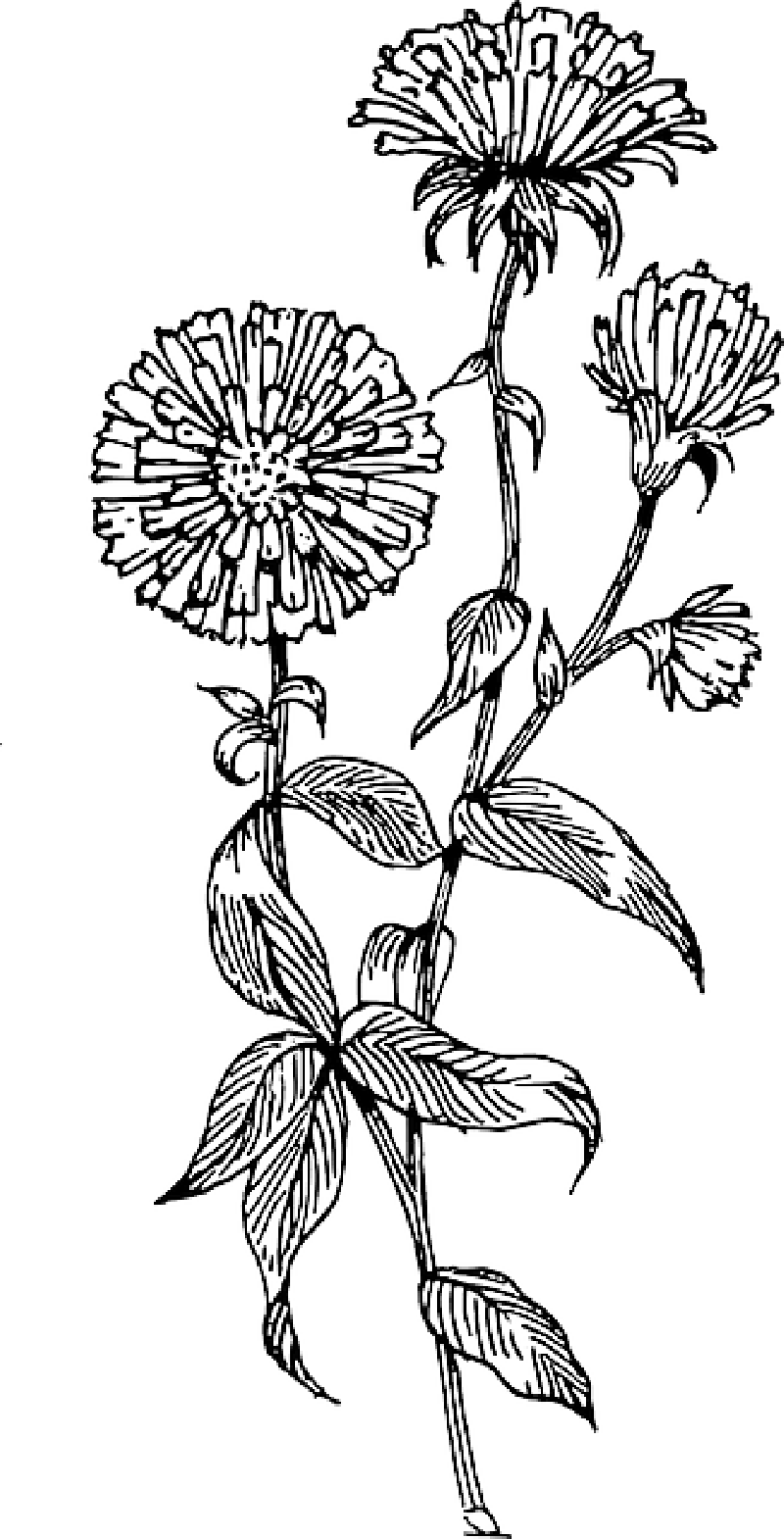 Aster flower clipart clipart transparent stock Aster Flower Drawing Related Keywords & Suggestions - Aster Flower ... clipart transparent stock