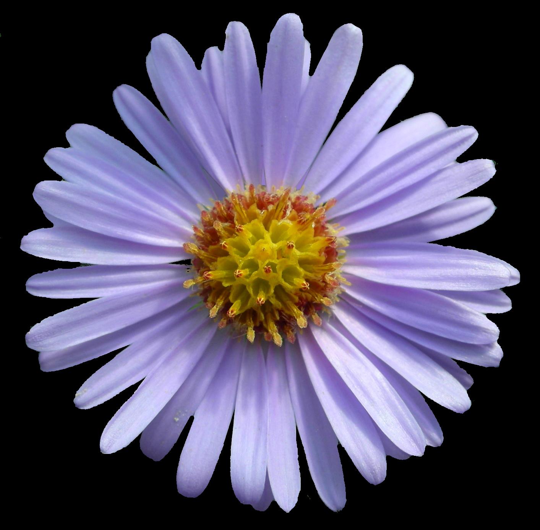 Snapdragon flower clipart vector transparent stock Flowers vector transparent stock