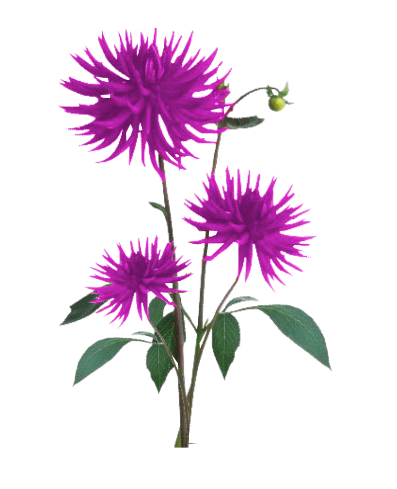 Aster flower clipart picture library Aster PNG Free Download | PNG Mart picture library