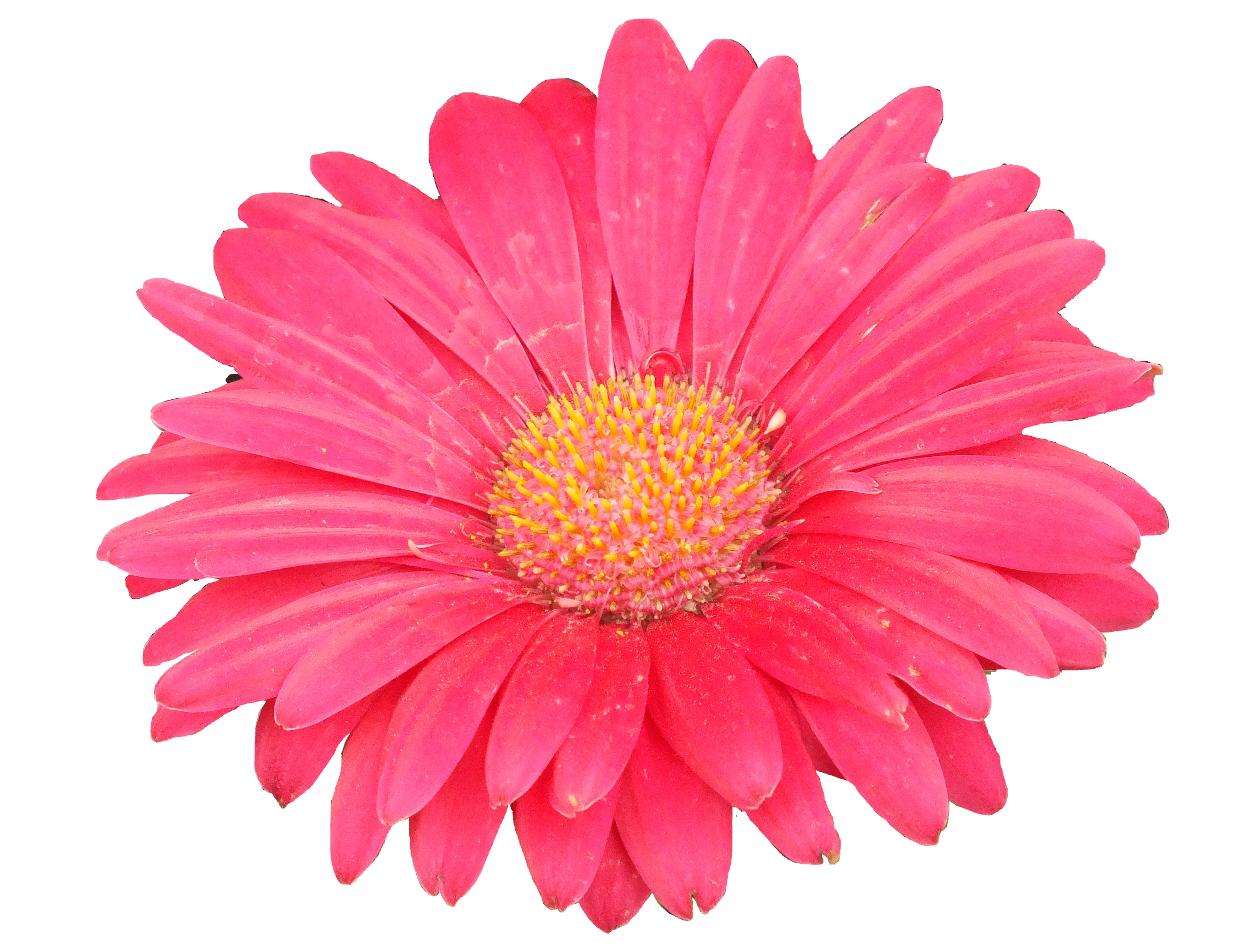 Aster flower clipart picture library stock Flowers picture library stock