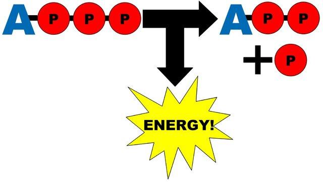 Atp clipart graphic transparent download ATP Molecules — Steemit graphic transparent download