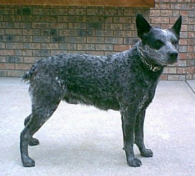 Australian stumpy tail cattle dog clipart jpg free download 10 Best images about Australian Stumpy Tail Cattle Dogs on ... jpg free download