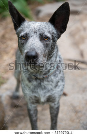 Australian stumpy tail cattle dog clipart freeuse Cattle Dog Stock Photos, Royalty-Free Images & Vectors - Shutterstock freeuse