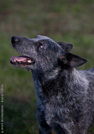 Australian stumpy tail cattle dog clipart graphic free download AUSTRALIAN STUMPY-TAIL CATTLE DOG/STUMPY-TAIL BLUE HEELER | For ... graphic free download