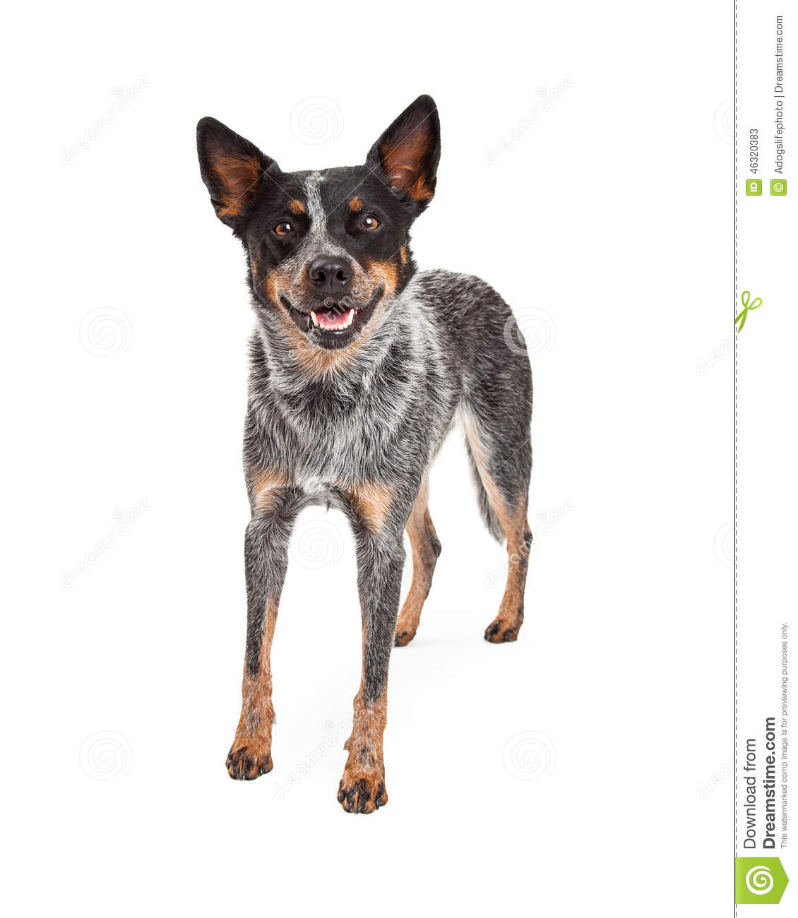 Australian stumpy tail cattle dog clipart jpg library download Australian cattle dog clipart - ClipartFest jpg library download
