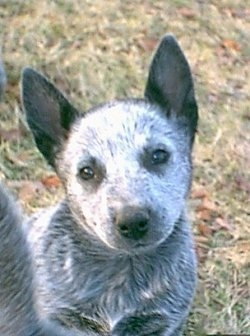 Australian stumpy tail cattle dog clipart jpg freeuse library Australian Stumpy Tail Cattle Dog Breeders - Breed of Dog jpg freeuse library