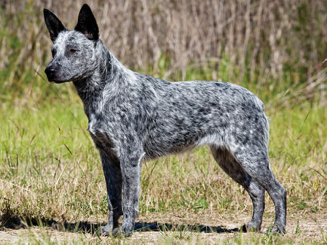 Australian stumpy tail cattle dog clipart download AUSTRALIAN STUMPY-TAIL CATTLE DOG/STUMPY-TAIL BLUE HEELER | For ... download
