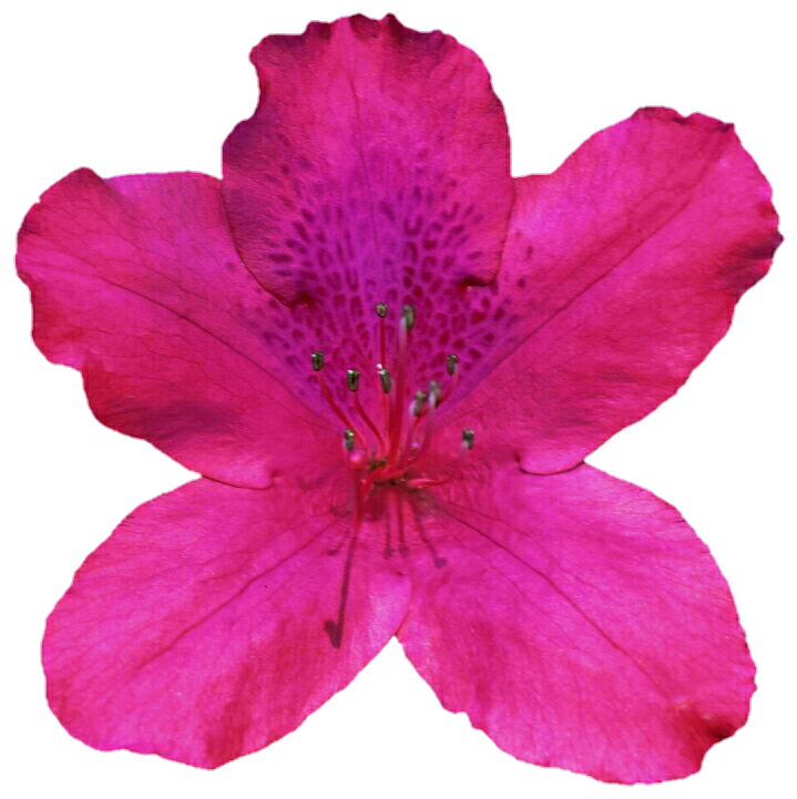 Azalea flower clipart clipart freeuse library Pink Azalea by jeanicebartzen27 on DeviantArt clipart freeuse library