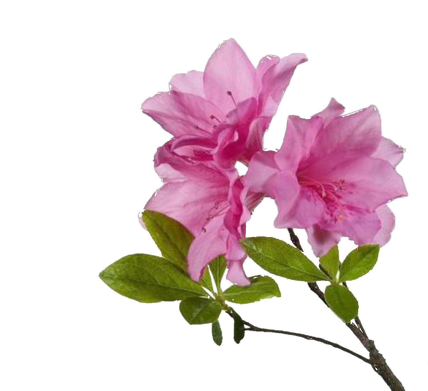Azalea flower clipart vector free Summerville Flowertown Festival | Summerville/Charleston, SC | Pinterest vector free