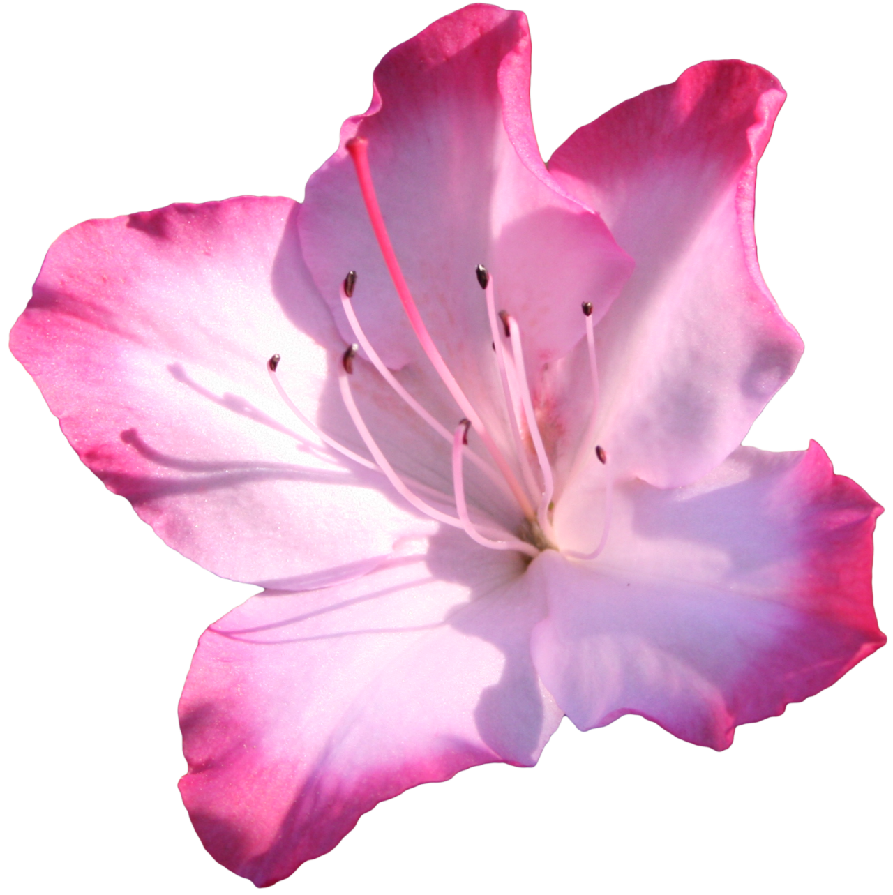 Azalea flower clipart graphic library library Azalea Pink flowers Clip art - pink flower 1280*1283 transprent Png ... graphic library library