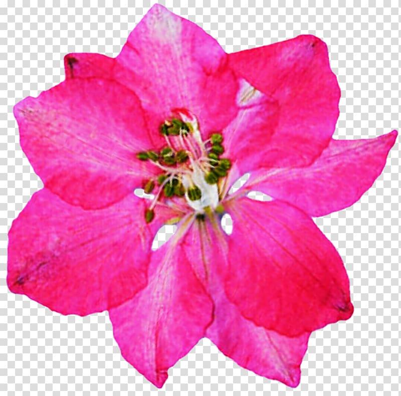 Azalea flowers clipart jpg Azalea Rose family Annual plant Herbaceous plant, rose transparent ... jpg