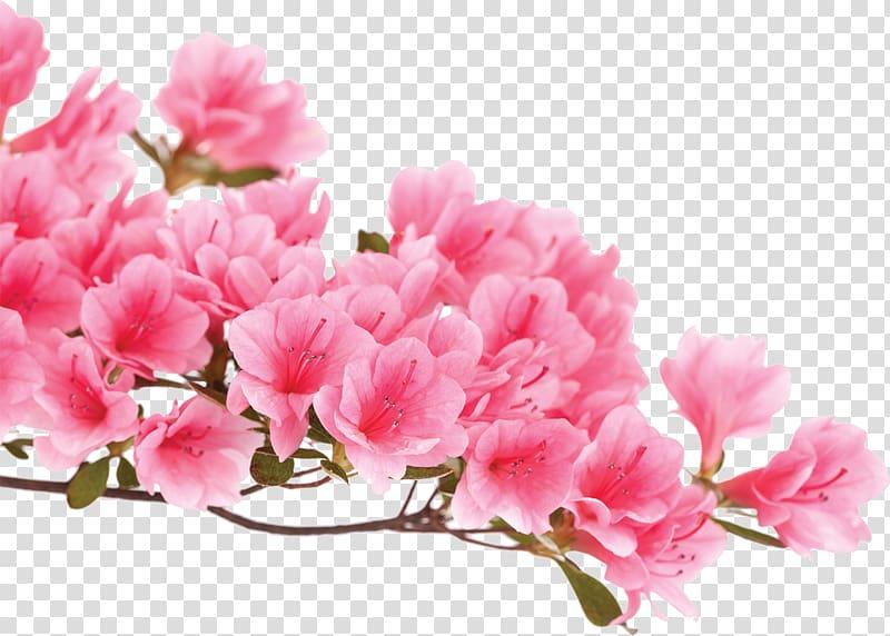 Azalea flowers clipart image freeuse Azalea Pink flowers Rhododendron luteum, flower transparent ... image freeuse