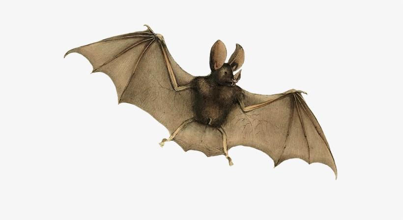 B is bat clipart vector transparent Phyllophora Mygolitis Bat Clipart - Zoology Of Hms Sulphur 1844 Bats ... vector transparent