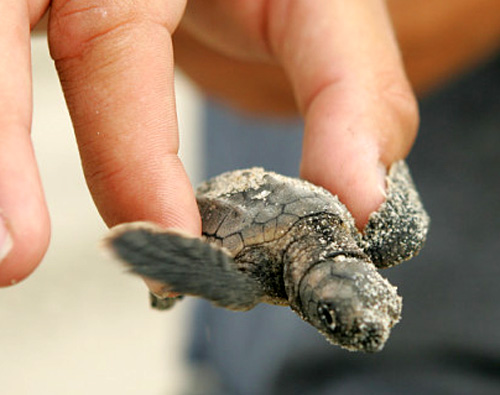 Baby sea turtle hatching clipart clipart freeuse Sea Turtle Pictures clipart freeuse