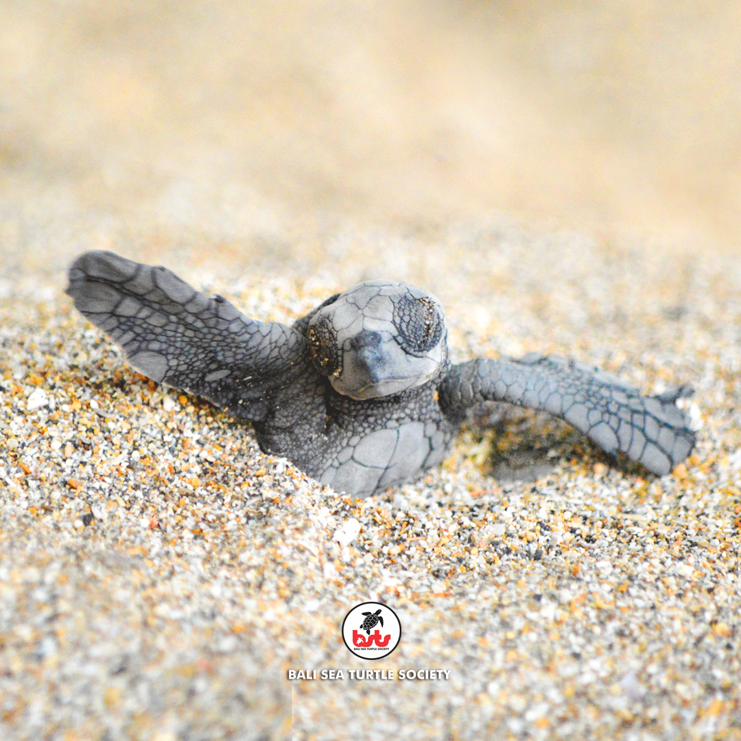 Baby sea turtle hatching clipart jpg transparent stock Bali Sea Turtle Society (BSTS) working with local communities jpg transparent stock
