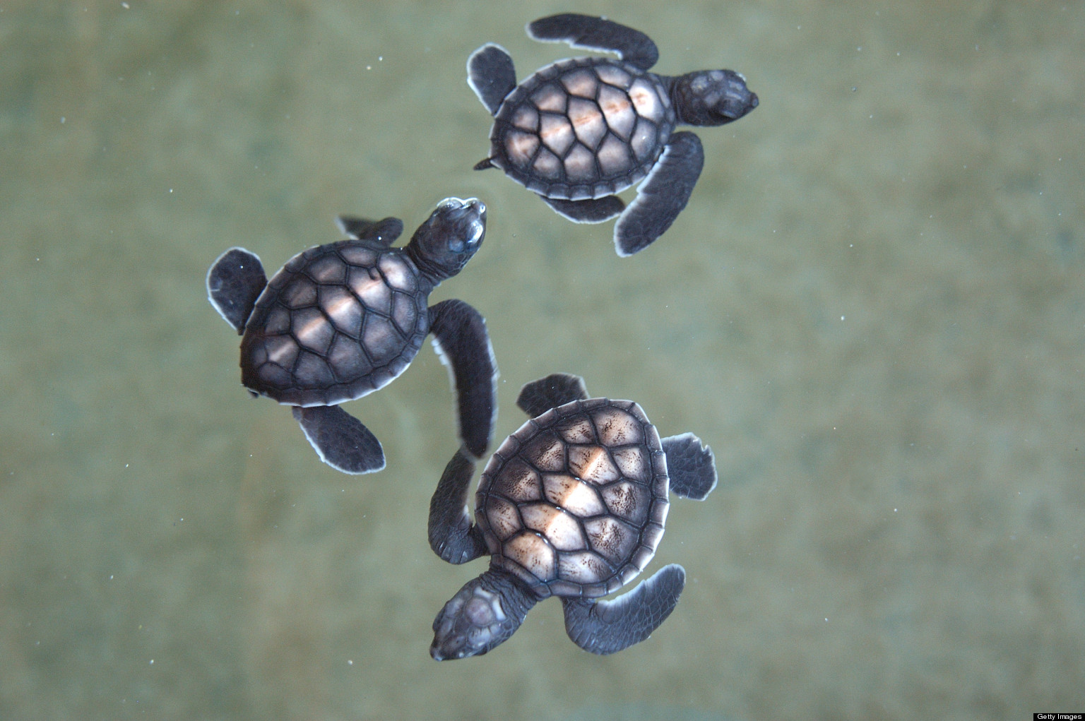 Baby sea turtle hatching clipart freeuse stock Baby Sea Turtle Hatching Clipart freeuse stock