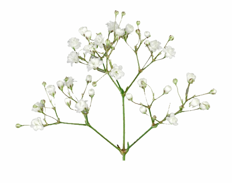 Baby\'s Breath Flowers Png Free Pic - Baby\'s Breath Flower Png Free ... clipart freeuse stock