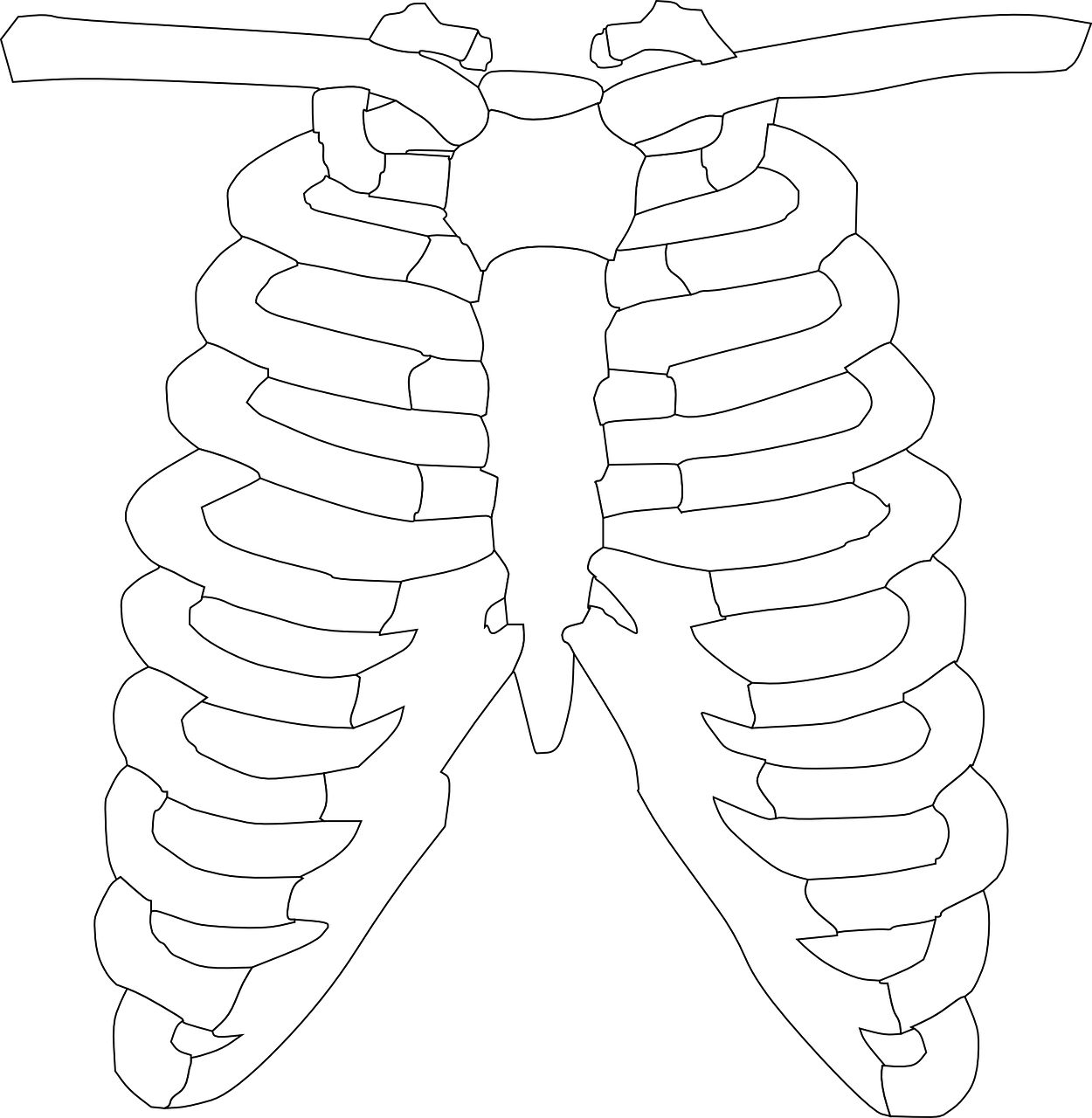 Back rib cage skeletal clipart with transparent background