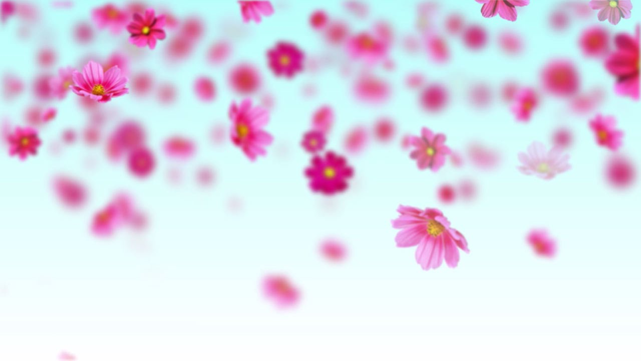 Pink cosmos flowers - Free motion background loop - YouTube clipart transparent library