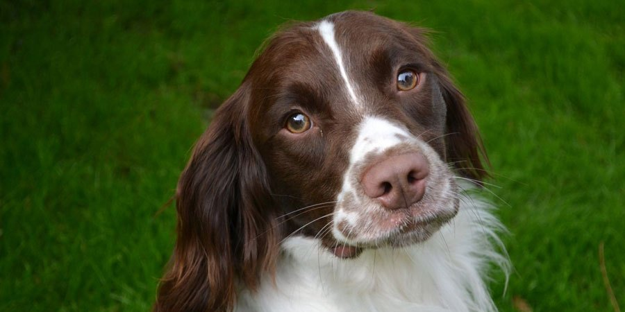 Background less springer spaniel clipart png royalty free English Springer Spaniel Breeders - Simply Pets png royalty free
