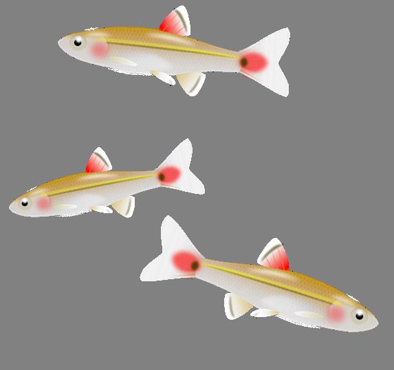 Tiny fish clipart vector royalty free stock Fish Minnow Clip art - Raw Fish Cliparts 573*538 transprent Png Free ... vector royalty free stock