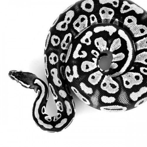 Ball python clipart black and white image library stock Trying to work out whether is in black and white or it is an ... image library stock
