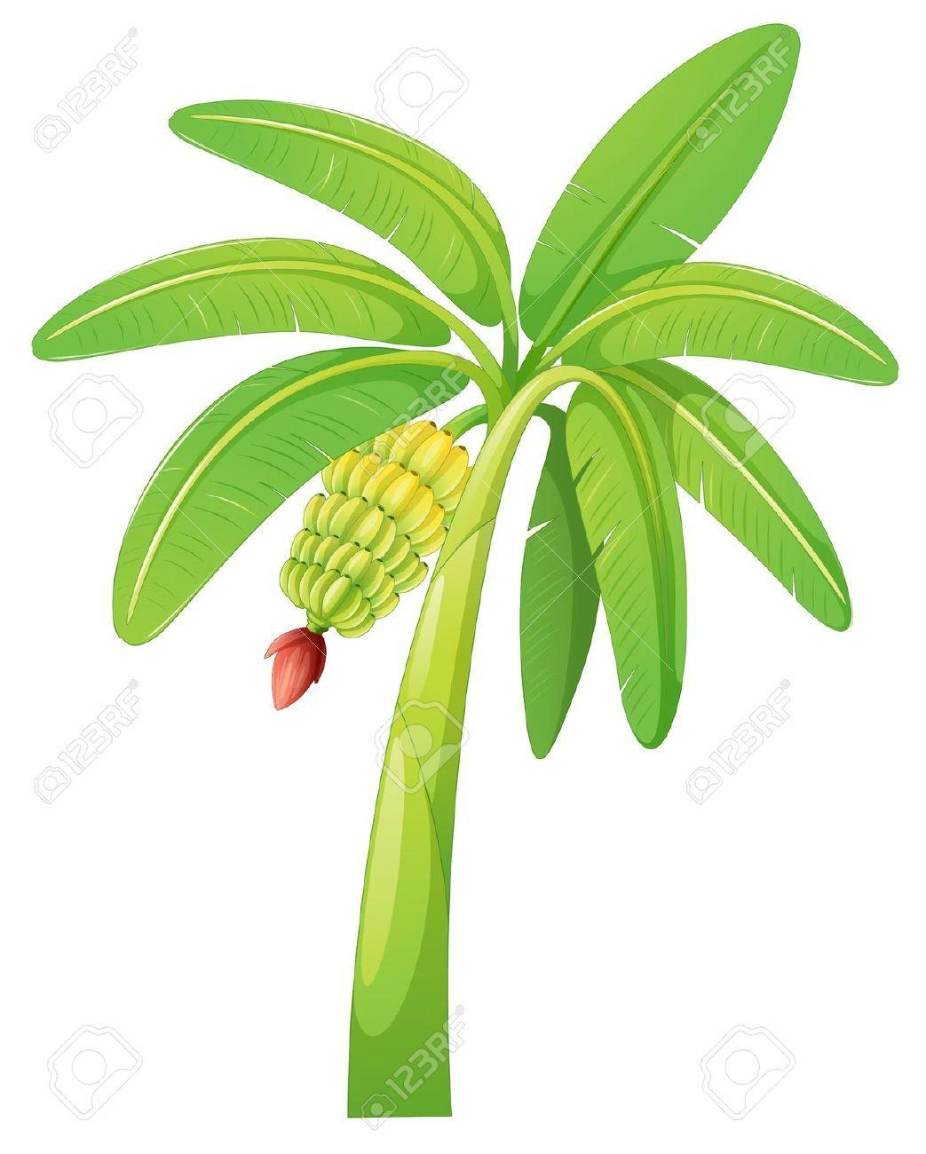 Banana tree vector clipart stock of banana tree on a white | nuntawat55 | Palm tree clip art, Leaf ... stock